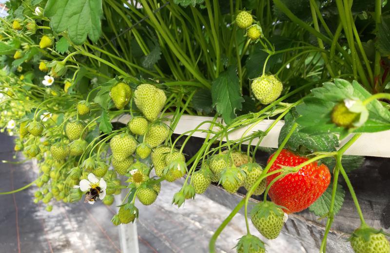 Unsere Erdbeeren werden gepflanzt