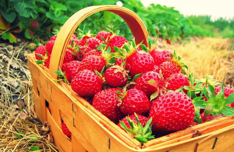 Erdbeer-Selbstpflücke Start ab 07.06.2021